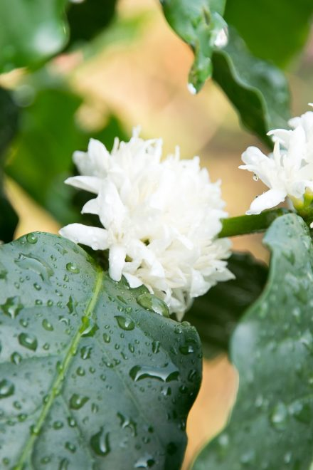 Coffee tree with white coffee flower on cafe plantation